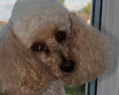 My favourite place E7050152_22-PSEdit (tony.rummery) Tags: england dog pet unitedkingdom olympus poodle gb guildford windowsill omd em10 mft microfourthirds