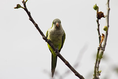 Parrot (Alvimann) Tags: verde green bird birds standing stand wings legs leg wing parrot pajaros patas ala alas pajaro parado parrots verdes loro cotorra pata loros cotorras parados alvimann