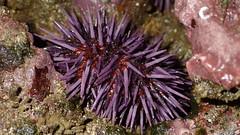 Purple sea urchin, Strongylocentrotus purpuratus (aharmer1) Tags: sea purple urchin strongylocentrotus strongylocentrotuspurpuratus purpuratus purpleseaurchin