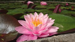 Nymphea mayla - Pembe Nilfer iei (zgealbayrak) Tags: pink flower green nature turkey botanical lucifer petal bloom nymphea pembe nilfer mayla