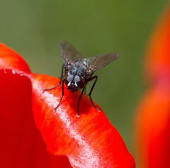 Fly on tulip (Eiona R. [busy for next three weeks]) Tags: housefly canonefs60mmf28usm garden2013
