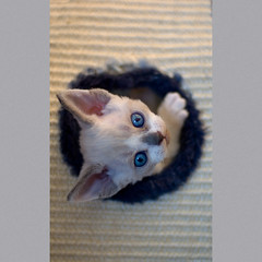 Coming Up 1 (peter_hasselbom) Tags: blue cats cat circle 50mm kitten blueeyes flash kittens round devonrex bicolor 5weeksold inahole 1flash siammasked drxa0333