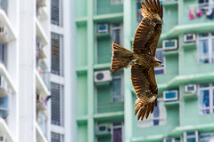 """城市獵人: 麻鷹(黑鳶) Urban Hunter: Black Kite (Milvus migrans)"" / 自然 Nature / SML.20130509.7D.41656"