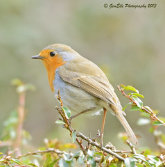 Robin on a twig (GemElle Photography) Tags: red bird robin nikon breast gemelle redbreast sigma50500 d600 gemelle1