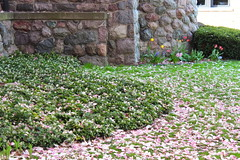 Magnolias Carpet the Lawn (marylea) Tags: pink flowers spring catholic michigan blossoms annarbor magnolia catholicchurch blooms magnolias stthomasaa stthomastheapostlecatholicchurch