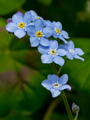 Forget Me Not (Child of Rarn) Tags: flower garden tamron90mmmacro d7000