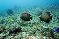 DSC02534a (rwe0207) Tags: fish underwater florida scuba bocaraton underwaterphotography
