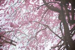 Weeping Sakura (b.goh) Tags: pink japan cherry blossoms sakura weeping