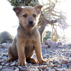 Brown Bear the 7 Week Old Chow Puppy (Immature Animals) Tags: old rescue baby animal animals female puppy 7 marshall derek bark chow week pup immature chowchow pacc immatureanimals