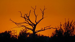 Skeletal Sunset Tree (Rob Felton) Tags: light sunset sky sun tree silhouette set skyline skyscape bedford bedfordshire felton lumen cardington robertfelton