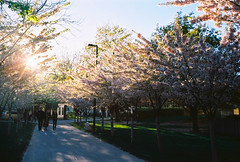 Cherry Blossoms (j-riviere) Tags: leica flowers toronto canada colour film 35mm cherry kodak blossoms summicron sakura analogue leicam6 ektar