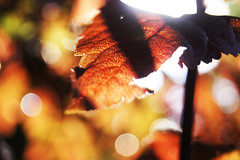 Leaves 015 (Ethan Sztuhar) Tags: red sun blur leaves closeup focus warm close bokeh sony a33 alpha