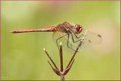 Sympetrum fonscolombii  (Joose SF) Tags: nature nikon suisse geneva dragonflies dragonfly wildlife insects genve arthropoda insecte insectes libellule odonata libellulidae anisoptera hexapoda libellules odonate proxi odonates 2013 proxiphoto