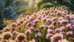 Thrift Explosion (intrazome) Tags: light wild plants flower color colour green nature beautiful nikon cornwall purple bokeh wildlife thrift sigma1770 d5100