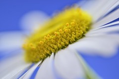 White Yellow Blue (Steven H Scott) Tags: blue white flower macro green up yellow petals nikon focus close selective sigma180macro stevenscott d7000