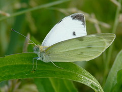 Cabbage White (Dendroica cerulea) Tags: butterfly newjersey spring nj insects lepidoptera highlandpark arthropoda invertebrate pieris pierisrapae insecta cabbagewhite pieridae pierinae fav10 papilionoidea middlesexcounty donaldsonpark