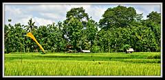One fine day - Postcard from Indonesia (the_orange_girl) Tags: trees bali playing green birds yellow indonesia landscape nikon play paddy ricefield hijau ubud paddyfield kuning sawah burung pohon bendera gubuk d5100