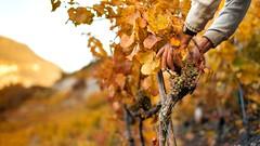 Höchster Weinberg Europas (Heidadorf Visperterminen) Tags: switzerland vineyard wine urlaub berge vignes wallis heida reben valais wein pinotnoir weinberge fendant visperterminen kellerei heidadorf stjodern