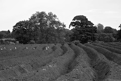 Furrows, Hobble End Lane 07/06/2013 (Gary S. Crutchley) Tags: uk travel england urban bw white black west monochrome rural town nikon raw zoom britain united country great sigma kingdom apo telephoto lane end fields and agriculture 70300mm newtown townscape staffordshire westmidlands dg walsall midlands d800 hobble blackcountry f456 bloxwich wyrley walsallweb