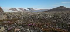 Purple Saxifrage Flowering (Derbyshire Harrier) Tags: summer glacier svalbard arctic cropped spitsbergen tundra ortelius naturetrek 2013 saxifragaoppositifolia purplesaxifrage higharctic faksevgen