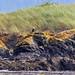 bald eagle on golden Xanthoria lichen, bull kelp below, Peapod Rocks, San Juan Islands National Wildlife Refuge