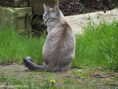 MyThai (Reinhold.Lotz) Tags: pets deutschland hessen katzen haustiere mythai kirtorf
