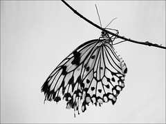 (Maggie's Camera) Tags: blackandwhite monochrome butterfly insect butterflyhouse berkeleycastle september252013