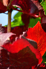 Red Leaves (pat.netwalk) Tags: color leave nature vine grape copyrightbypatwwwnetwalkch