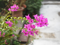 Bougainvillea (Ted Tsang) Tags: street plants flower bokeh taiwan olympus bougainvillea   paperflower em1 nantou  chunghsingnewvillage   hairybougainvillea marcoshot     beyondbokeh 1240mmf28