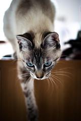 Proie repre, l'attaque est imminente... (Matthieu Luna) Tags: portrait france eye cat canon eos 50mm chat map luna matthieu yeux 7d f18 bibi 18 31 flou regard jeu