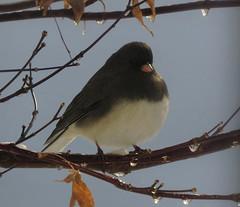 Slate-colored Junco (Trish Overton) Tags: bird birds in slatecoloredjunco evansvillein