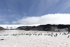 Antarctica - Day six0896 (GLRPhotography) Tags: snow ice penguin antarctica 18200 chinstrap deceptionisland baileyhead