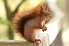 Red Squirrel (Mendip Blue) Tags: red cute animal rodent squirrel critter wildlife tail fluffy devon bushy sciurusvulgaris otterystmary escot