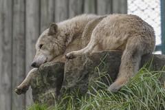 Tired Wolf (www.tagetav.se) Tags: ireland dublin nature animal wolf dublinzoo