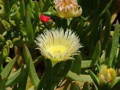 Qasr Azraq: fiore di Carpobrotus
