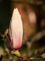 magnolia 10/52 (sure2talk) Tags: macro spring magnolia bud shallowdof 1052 nikond7000 nikkor85mmf35gafsedvrmicro 52weeksfornotdogs 52in201420spring