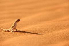 , lizard (Abdulmohsen Mhasen) Tags: desert  600d   canon600d