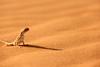سحليه , lizard (Abdulmohsen Mhasen) Tags: desert حيوان 600d صحراء رمال canon600d
