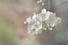 Le printemps est dans l'air (mamietherese1) Tags: textures fantasticnature cedruseternum