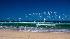 Flight 2 (Chill Mimi) Tags: ocean seagulls beach nature birds seaside surf waves flock flight gathering newsouthwales brokenhead pacificgulls