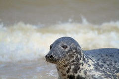 Seals at Horsey Beach (yve1964) Tags: beach water canon eos norfolk seal 7d seals horsey greyseals sealpups