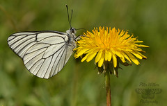Black-veined White Butterfly (Aporia crataegi) (Pete Withers) Tags: white black butterfly blackveinedwhite veined aporiacrataegi aporia crataegi blackveined