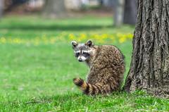 Common Raccoon II (Miguel de la Bastide) Tags: nature animal mammal tokina sl sd raccoon f56 common racoon 400mm colonelsamuelsmithpark