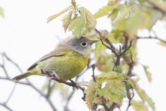_53F0221 Nashville Warbler (~ Michaela Sagatova ~) Tags: rain spring dundas songbird nashvillewarbler woodwarbler vermivoraruficapilla dvca michaelasagatova