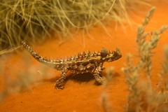 Thorny Devil Alice Spring Desert Park (terrencechuapengqui) Tags: park desert alice wildlife australia lizard ranges springs devil northern territory thorny macdonnell