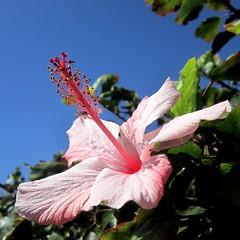Hibiscus -  (yoel_tw) Tags: flowers flower hibiscus