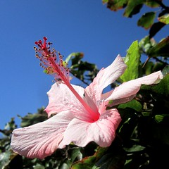 Hibiscus - היביסקוס (yoel_tw) Tags: flowers flower hibiscus פרח פרחים היביסקוס