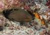 Gymnothorax javanicus - Murène javanaise - Giant Moray  01.jpg