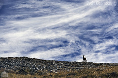 camoscio, chamois (paolo.gislimberti) Tags: piemonte mammals piedmont cloudysky mountainlandscape ungulates cielonuvoloso ungulati mammiferi paesaggiodimontagna alpinegrassland prateriaalpina animaliambientati animalsintheirenvironments