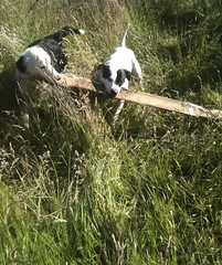 Together (Miriam Christine) Tags: friends cute dogs drag pair together stick fetch hold